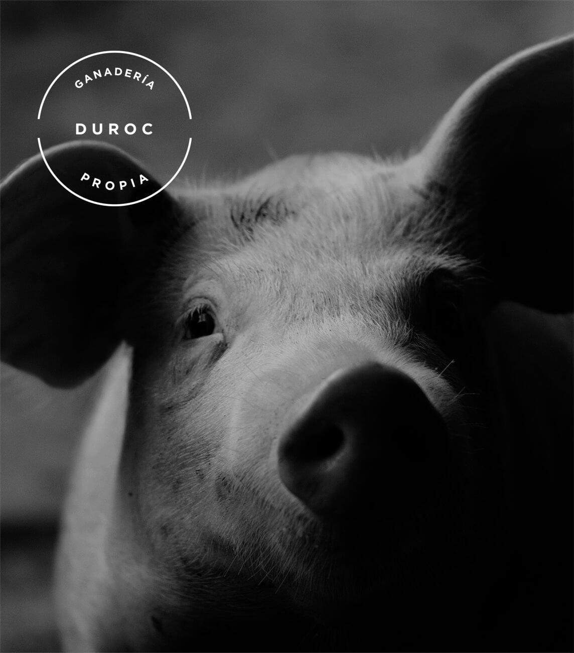 cerdo-duroc-ganaderia-alejandro-miguel